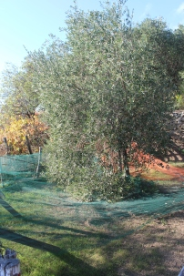 Olive trees....the net is for catching the olives, and then the farmers pick them up.