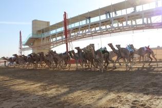 Camel racing!