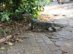 These monitor lizards were just roaming around...kinda freaked me out when 2 came running out of the trees towards my feet :)