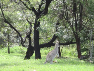 We saw a LOT of kangaroo out in the fields as we were driving :)