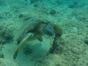Got to swim with a few of these gorgeous creatures.
